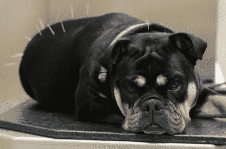 doggie_acupuncture